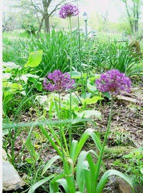 Garden Thyme-Alliums