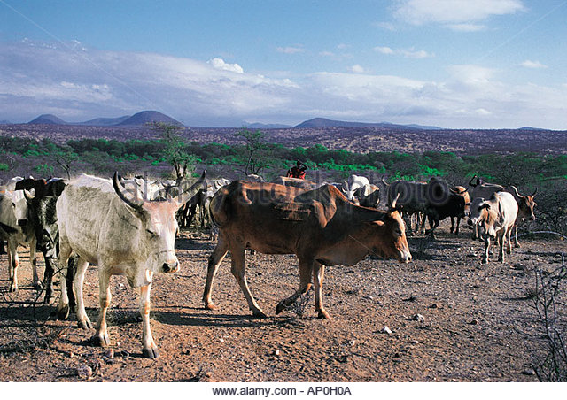 cattle-belonging-to-the-samburu-tribe-outside-their-village-in-northern-ap0h0a