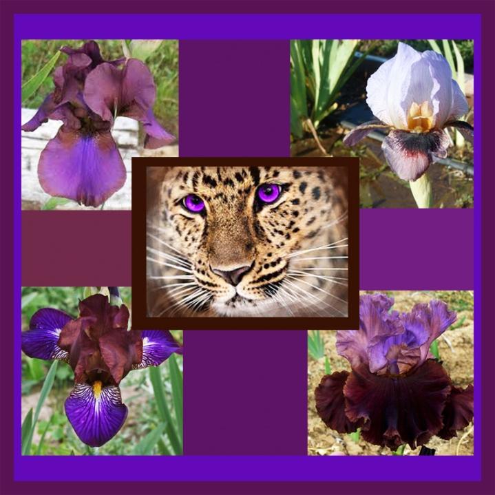 Iriscollat